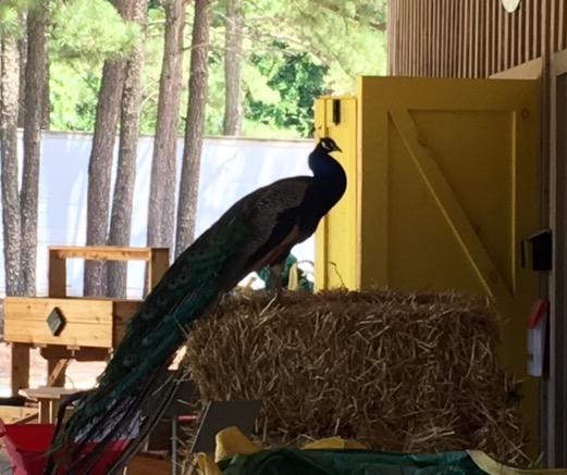 Peacock IV